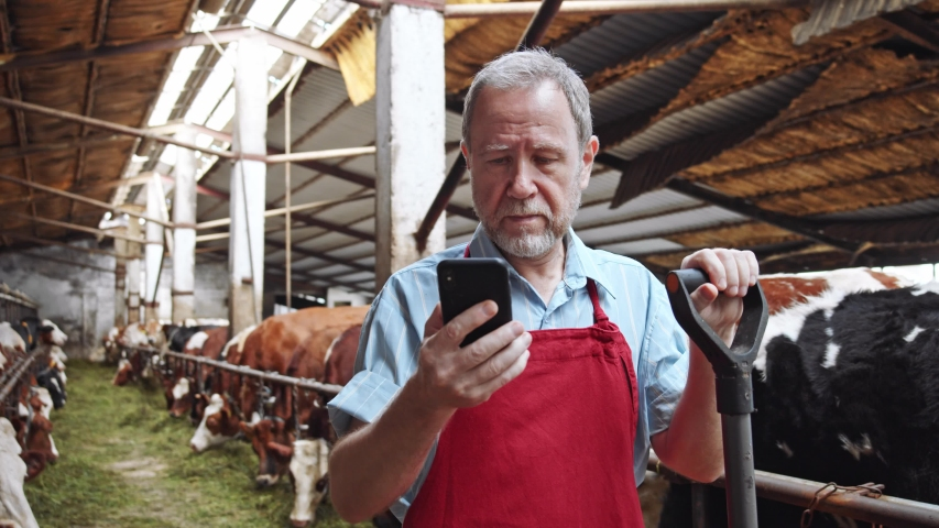 Smiling handsome farmer using smartphone in cowshed barn with cows eating grass on background. Internet surfing. Business communication. Checking message notification. Business people connect. 4K