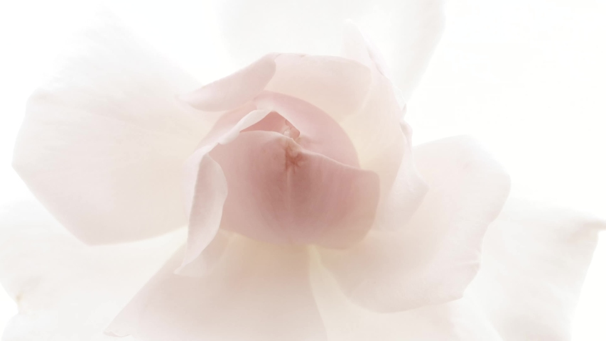 Beautiful opening pink rose on white background. Petals of Blooming pink rose flower open, time lapse, close-up. Holiday, love, birthday design backdrop. Bud closeup. Macro. 4K UHD video timelapse