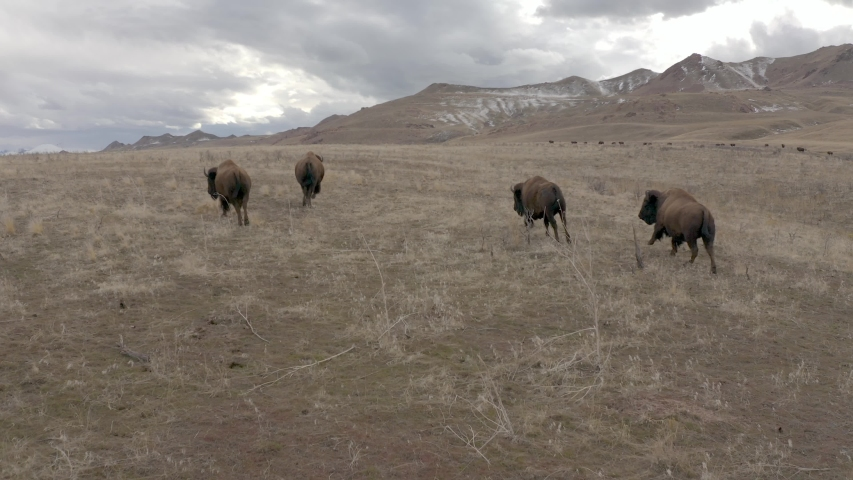 bison running follow cam in mountains Royalty-Free Stock Footage #1057486006