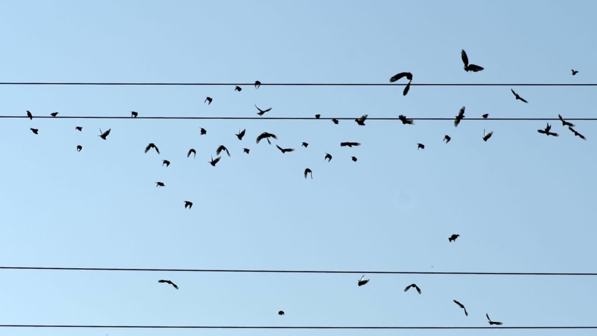 Birds on wires - emigration concept. Silhouettes of birds sitting on wires fly away into the distance, to warm countries. Migration, resettlement. Slow motion shot