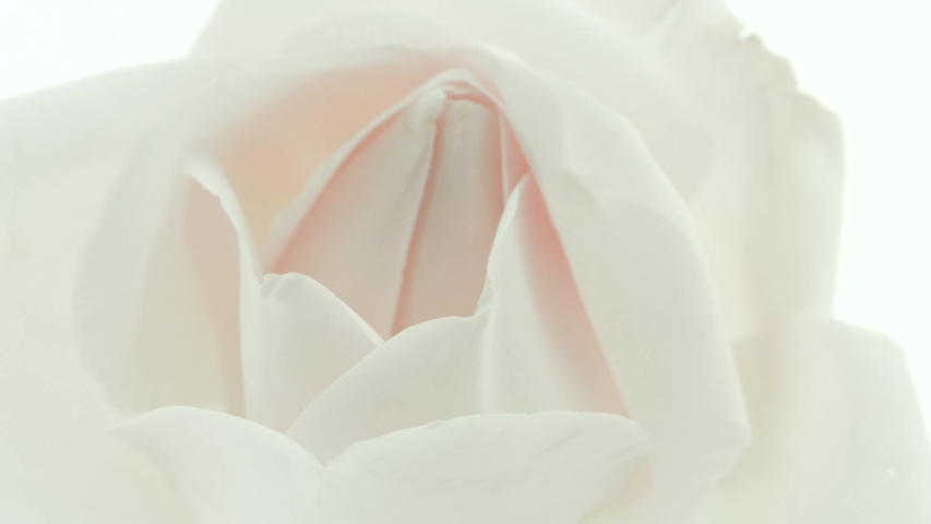 Beautiful opening pink rose on white background. Petals of Blooming pink rose flower open, time lapse, close-up. Holiday, love, birthday design backdrop. Bud closeup. Macro. 4K UHD video timelapse.