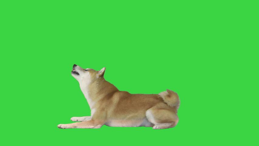 Red shiba inu dog lying on a Green Screen, Chroma Key.