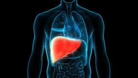 Human Internal Digestive Organ Liver Anatomy Animation Concept. 3D