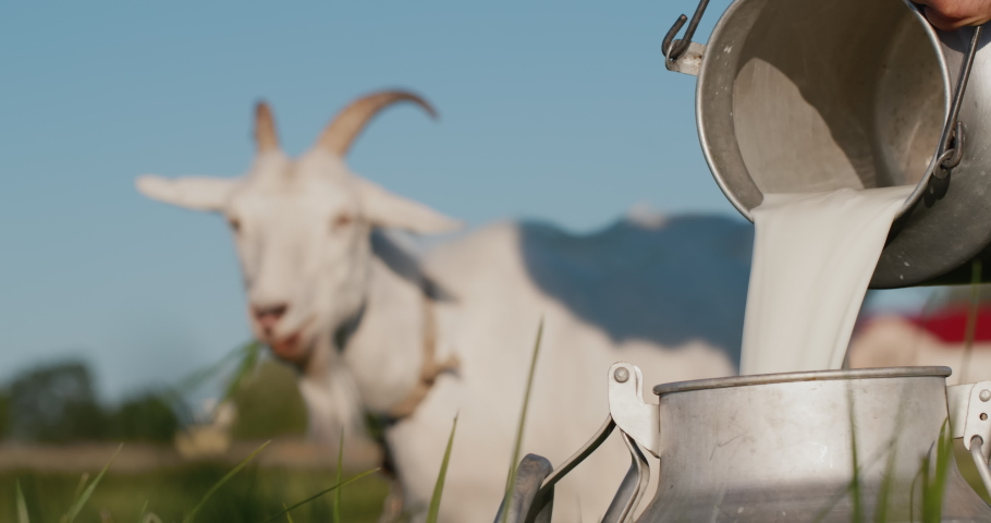 Farmer pours goat's milk into can, goat grazes in the background | Shutterstock HD Video #1057573966