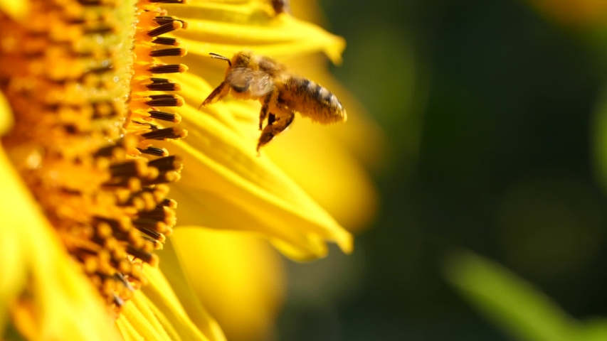 Flying honey bee covered with pollen collecting nectar from yellow sunflower close up. Macro footage of bee covered with pollen pollinating flower. Royalty-Free Stock Footage #1057577371