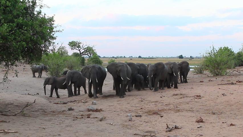 A herd of African Bush Elephants at sandy beach on the Chobe savanna   Shutterstock HD Video #1057628554