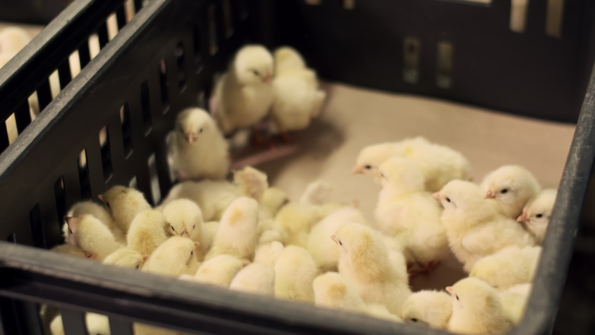 A black box where little chickens fall. A plastic black container into which yellow newborn Chicks fall