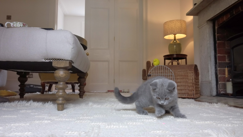 A small grey British Shorthair kitten chases a red dot from a laser pen inside a house | Shutterstock HD Video #1057655191