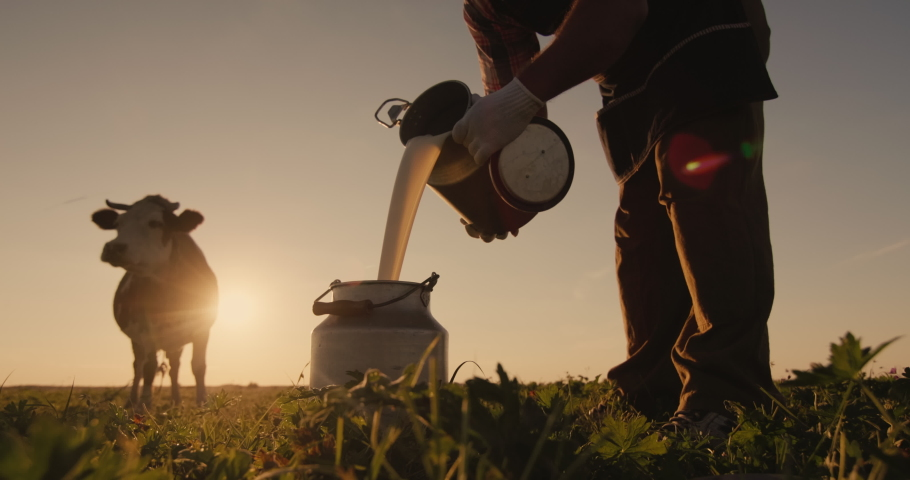 Farmer pours milk into can at sunset, in the background of a meadow with a cow | Shutterstock HD Video #1057702294