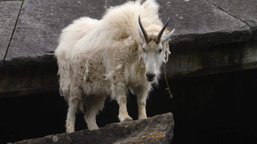 A Rocky Mountain goat is standing on a flat rock.
