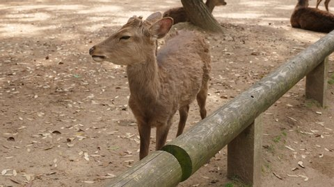 Sika deer come close looking for snack, see nothing and turn head to scratch back by teeth. Wild free walking animals at Nara city and park. Popular tourist attraction at Japan