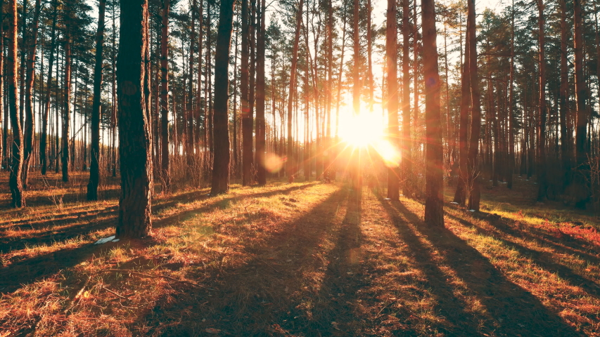 Beautiful Sunrise Sun Sunshine In Sunny Spring Coniferous Forest. Sunlight Sunbeams Through Woods In Forest Landscape. | Shutterstock HD Video #1057756564