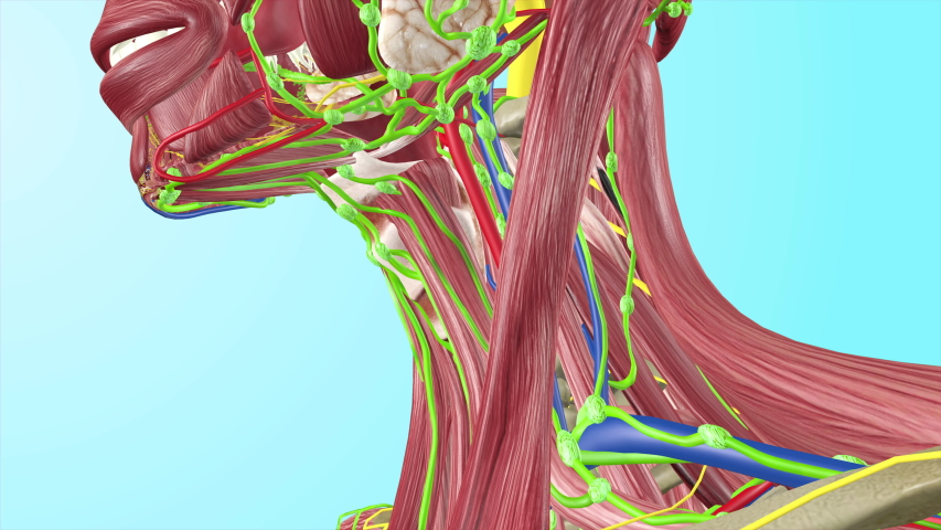 Cervical Lymph Nodes with Full Body Muscles Circulatory Veins Arteries Lymphatic System