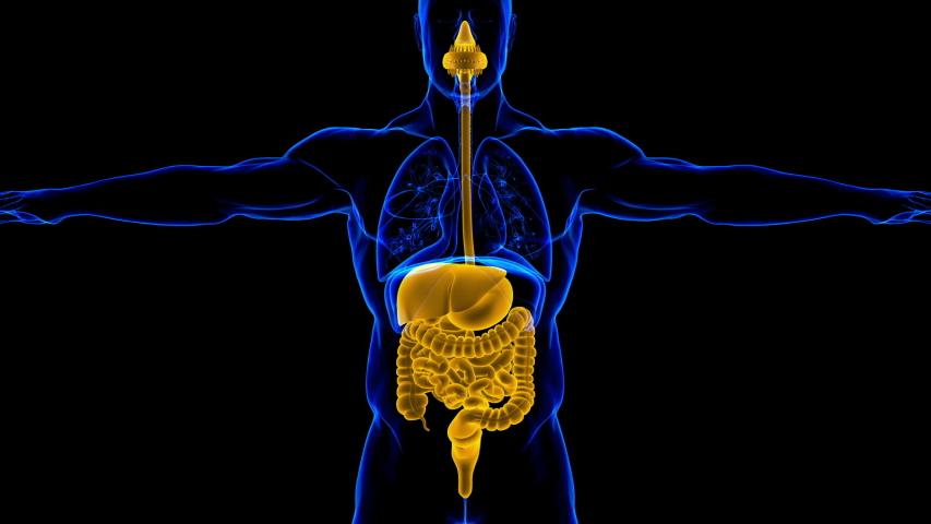 Human Digestive System Anatomy For Medical Concept 3D Illustration