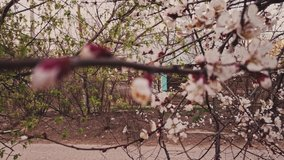 Cherry in full bloom. Blooming cherry trees in front of rustic wooden hut in Russia. Pan shot in vintage colors.