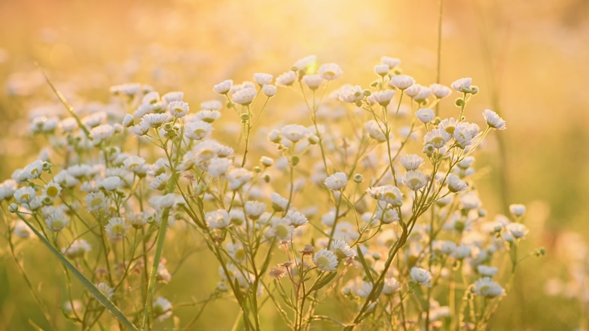 Erigeron annuus (annual fleabane, daisy fleabane, or eastern daisy fleabane) in the summer meadow backlit with sunrise sun. Natural summer background. Golden hour shot, shallow depth of field. 4K | Shutterstock HD Video #1057838071