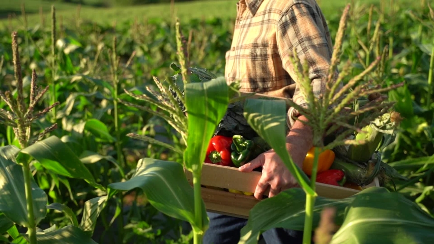 Hands worker carrying crate of freshly picked vegetables. Harvesting in the field, organic products
