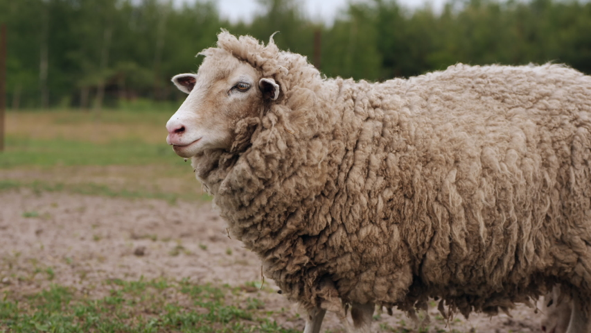 The sheep on the meadow breathes swaying, grazes, screams, turning its head to the side