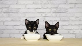 HD video of two kittens, one black, one tuxedo black and white, sitting at a light wood table with white porcelain food bowls, looking around waiting for food.