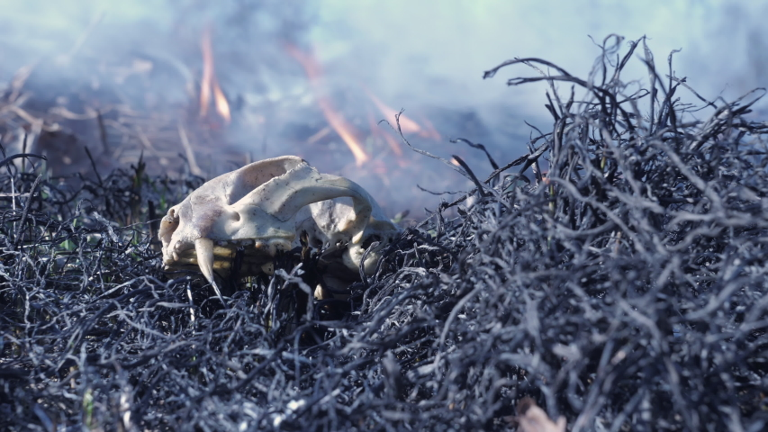 Forest fire. Wild animal burnt in a forest fire. A dead animal in a forest fire on ashes of burnt grass. Burning forest, furious out of control fire in the background, low-angle view Royalty-Free Stock Footage #1057890394