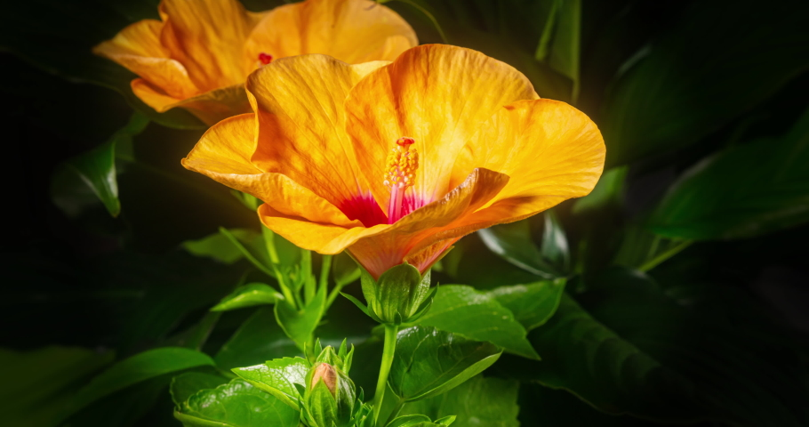 Two hibiscus flower blooms. The bud opens and blooms into a large orange yellow flower. Time lapse of a blooming hibiscus flower. Detailed macro time lapse of a blooming flower. Hibiscus bloom | Shutterstock HD Video #1057901611