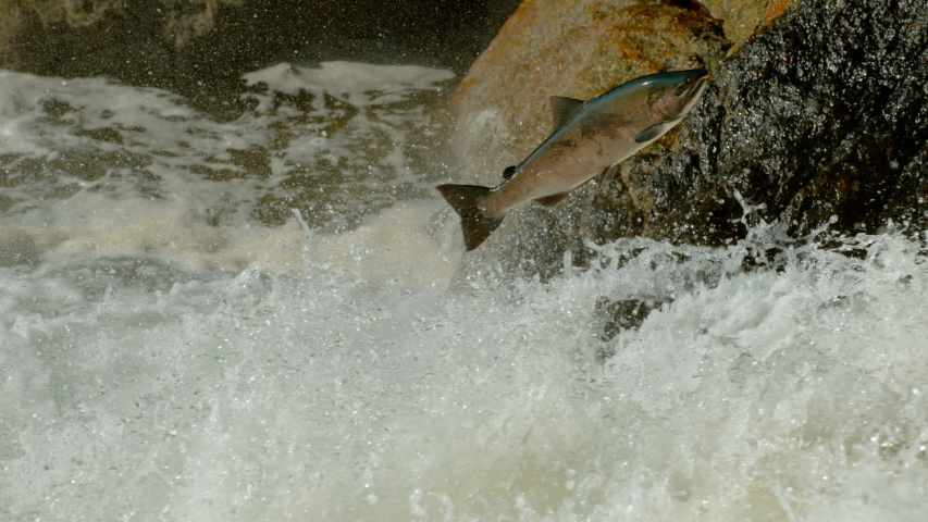 A salmon leaps as it tries to migrate up falls in a river   Shutterstock HD Video #1057924309