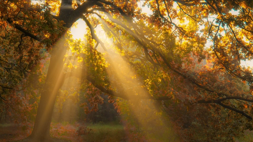 Autumn in full swing. Sun rays emerging though the orange autumn tree branches. Autumn forest early in the morning. Sunbeams illuminating oak tree. High quality shot Royalty-Free Stock Footage #1057927591