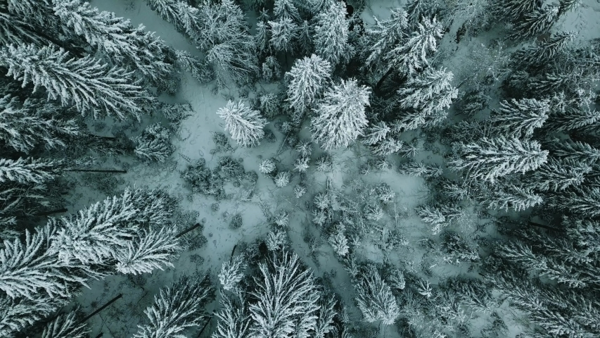 Winter forest snow Norway pine trees landscape drone shooting 4K video.