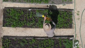male farmer working watering plants growing in garden, aerial view. Harvest bio products fresh vegetables. organic farming, agriculture. small local produce, irrigation. authentic real video
