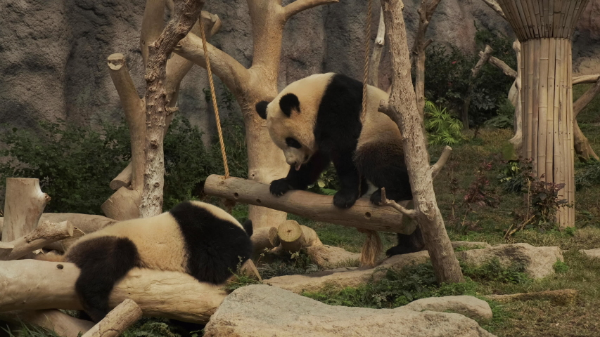 Cute baby giant pandas playing on a trunk swing | Shutterstock HD Video #1057976815