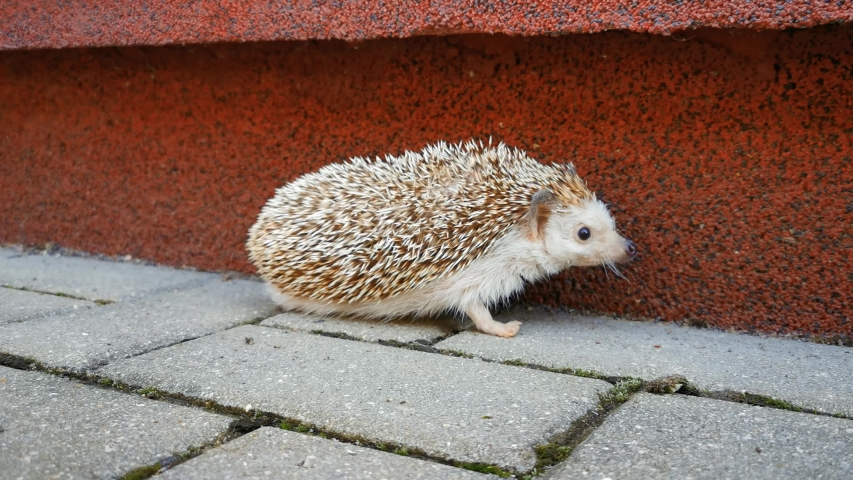 Little cute domestic hedgehog walking around the house