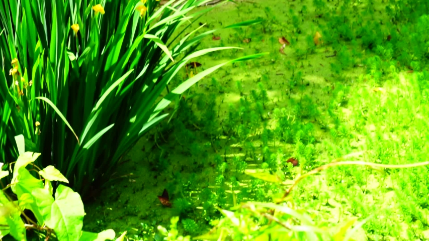 Water iris or marsh iris (Iris pseudacorus) in an algae covered pond. perennial herbaceous plant, 1-1.5 m tall (or rarely 2 m), with erect leaves up to 90 cm long