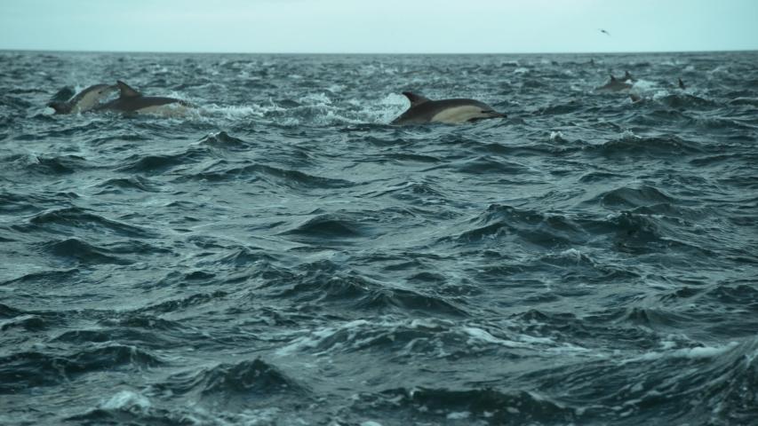 Pod of Dolphins jumping in highspeed slow motion. Shot on Phantom Flex 4K   Shutterstock HD Video #1057998487