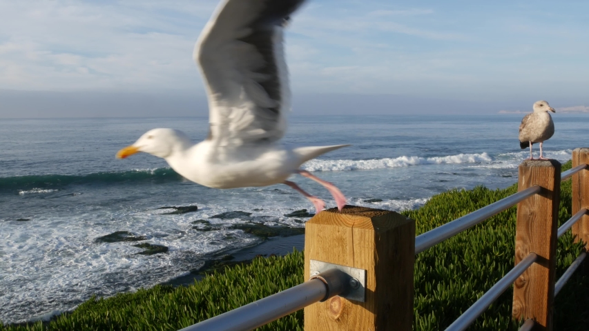 Funny sea gull birds on railings. Seagulls and green pigface sour fig succulent, pacific ocean splashing waves. Ice plant greenery on steep cliff. Vista point in La Jolla, San Diego, California USA.