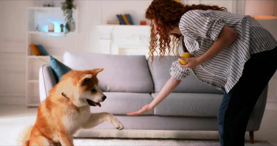 Young Woman playing ball game training cute Akita Inu dog puppy at home in cozy comfortable living room. Smart dog executes a command sits and gives paw.