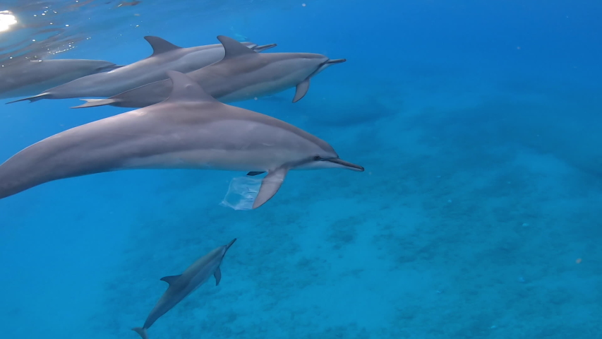 Close up of dolphin swimming in ocean with a plastic bag stuck on its fin | Shutterstock HD Video #1058044414