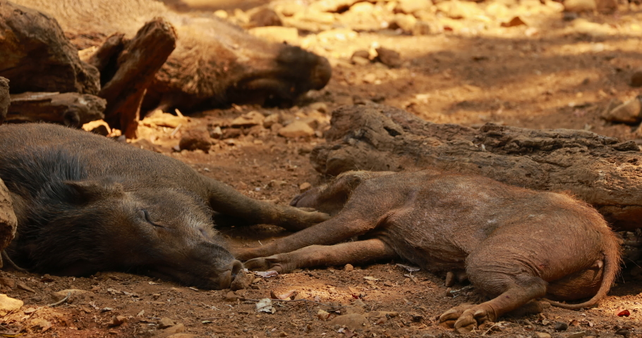 Goa, India. Indian Wild Boar Or Sus Scrofa, Also Known As The Wild Swine, Common Wild Pig Resting Sleeping In Shadow During Hot Day.