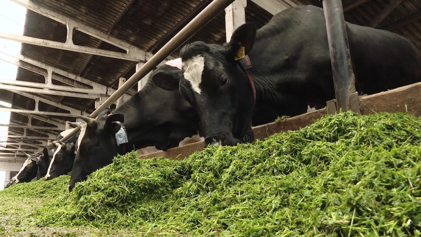 Cow eating grass on the farm. Close up of a cow eating fresh green food in a barn. Organic cattle breeding. Black and white cows in a farm cowshed eating green grass