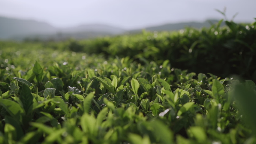 Fresh green tea leaves close up on tea plantations. Royalty-Free Stock Footage #1058097982