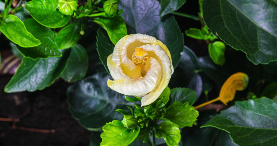 A hibiscus flower blooms. The bud opens and blooms into a large white yellow flower. Time lapse of a blooming hibiscus flower. Detailed macro time lapse of a blooming flower. Hibiscus bloom | Shutterstock HD Video #1058098870