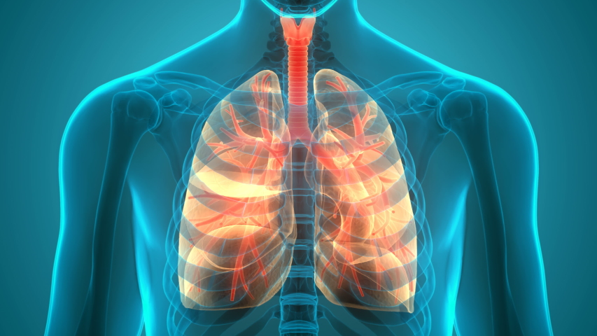 Human Respiratory System Lungs Anatomy Animation Concept. 3D Royalty-Free Stock Footage #1058098930