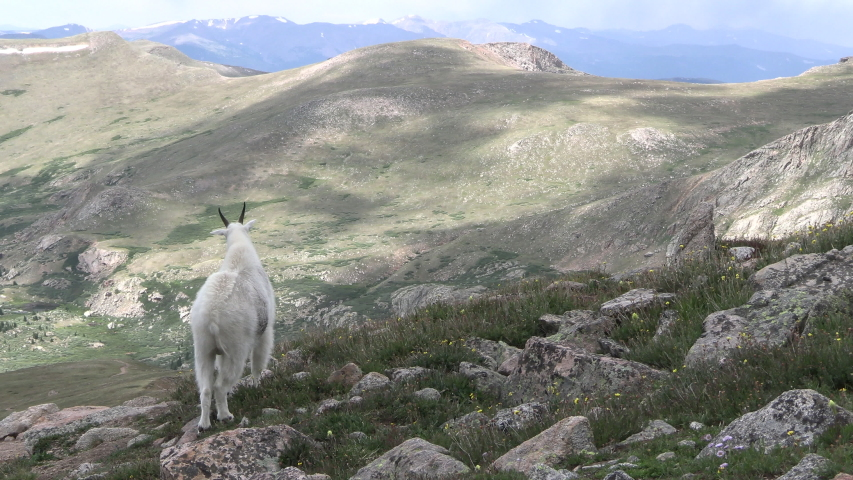 Mountain Goat Male Billy Adult Standing Looking Around Summer