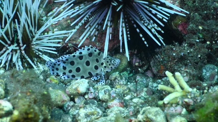 Barramundi fish. Humpback Grouper  Cromileptes altivelis. Underwater world of Bali, Indonesia. 4k underwater video.
