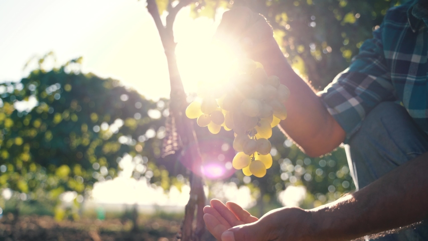 Grapes Wineries. Picking white Wine Grapes During Harvest In Italy. Ripe Vineyard Grapes. Grapes In The Vineyard In Tuscany, Italy. Royalty-Free Stock Footage #1058246641