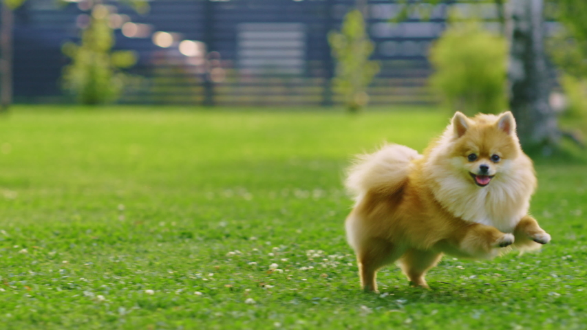 Super Cute Fluffy Pedigree Pomeranian Dog Runs Across Summer Green Lawn. Happy Little Pedigree Doggy Having Fun on the Backyard. Moving low Ground Dolly Slightly Slow Motion Shot | Shutterstock HD Video #1058261848