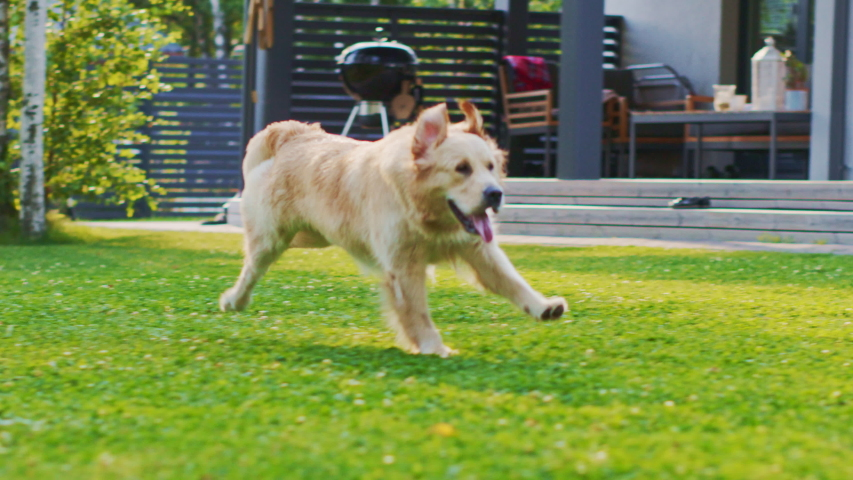 Loyal Golden Retriever Dog Running Across Green Backyard Lawn. Top Quality Pedigree Dog Breed Specimen Shows it's Smartness, Cuteness, and Noble Beauty. Following Dolly Camera Slow Motion Shot