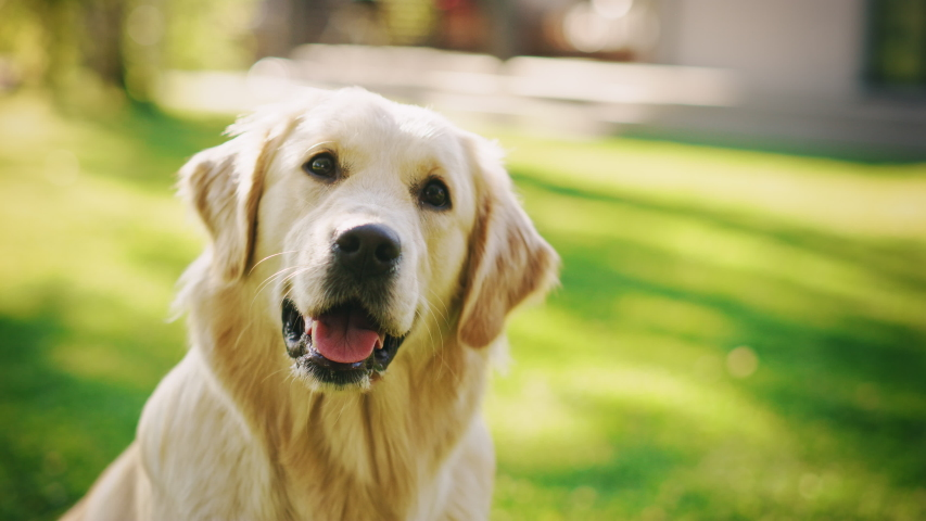 Loyal Golden Retriever Dog Sitting on a Green Backyard Lawn, Looks at Camera. Top Quality Dog Breed Pedigree Specimen Shows it's Smartness, Cuteness, and Noble Beauty. Colorful Portrait Shot