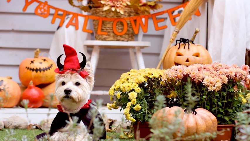 Funny dog west highland white terrier dressed in cloak, horns, devil costume is sitting near decorated with pumpkins house, waving head. Preparation for celebration. Trick or treat. Happy halloween. | Shutterstock HD Video #1058262706