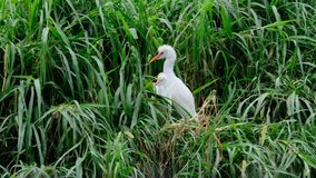 video footage of the environment of egret birds and other species in conservation areas