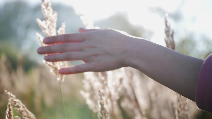 Person walking through the meadow in thick high grass. Close up of hand touches the tops of the grass in the rays of the sunset in slow motion.